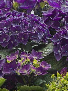 Hortensia - Hydrangea macro Deep Purple
