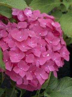 Hortensia 'Dolce Fragola'