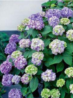 Hortensia  - Hydrangea macrophylla Endless Summer'® Bloomstar