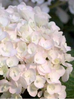 Hortensia 'Endless Summer'® The Bride