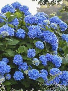 Hortensia - Hydrangea macrophylla Endless Summer The Original (bleu)
