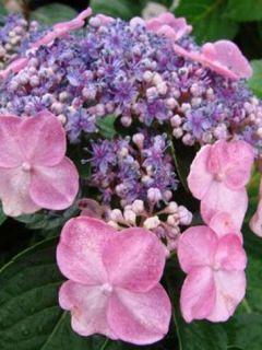 Hortensia 'Endless Summer'® Twist-N-Shout
