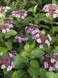 Hortensia - Hydrangea macrophylla Etoile Violette