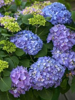 Hortensia 'Flair & Flavours' Sweet Cupcake