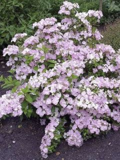 Hortensia - Hydrangea French Bolero
