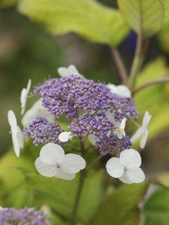 Hortensia - Hydrangea aspera sarg. Goldrush