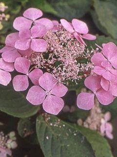 Hortensia 'Graciosa'