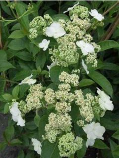 Hortensia - Hydrangea grimpant Semiola