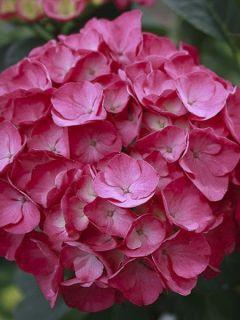 Hortensia - Hydrangea macrophylla Julisa