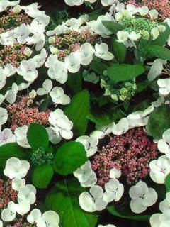 Hortensia - Hydrangea macrophylla Libelle, Teller white