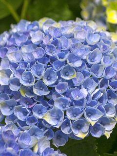 Hortensia 'Magical Revolution Bleu'