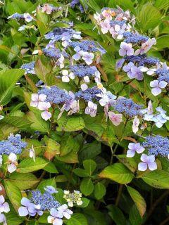 Hortensia Blue wave