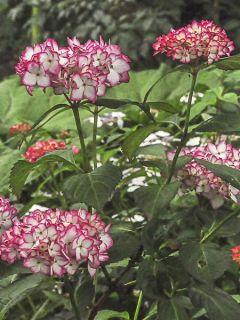 Hortensia - Hydrangea macrophylla Mirai