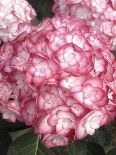 Hydrangea macrophylla Miss Saori - Hortensia