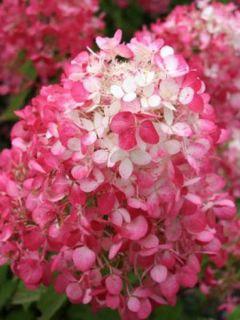 Hortensia - Hydrangea paniculata Diamant Rouge en pot de 10 L