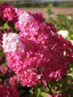 Hortensia - Hydrangea paniculata Fraise Melba