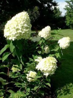 Hortensia paniculé 'Limelight'