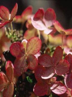 Hortensia Paniculata Pink diamond