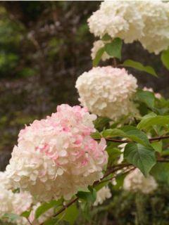 Hortensia - Hydrangea paniculata Silver Dollar en pot de 10 L