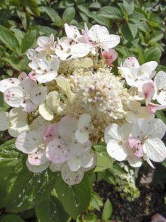 Hortensia paniculé 'Sparkling'