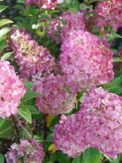 Hydrangea paniculata Sundae Fraise - Hortensia paniculé rose