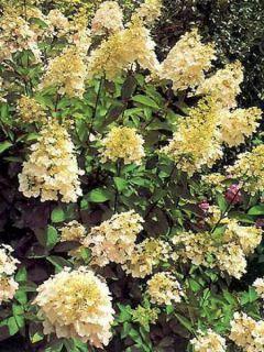 Hortensia - Hydrangea paniculata Unique
