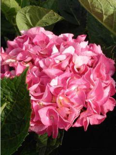 Hortensia - Hydrangea macrophylla Rosita