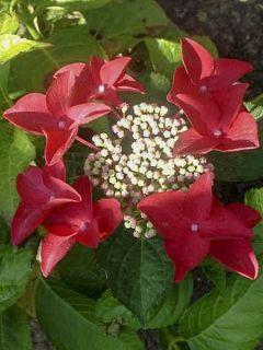 Hortensia Rotschwanz - Hydrangea macrophylla