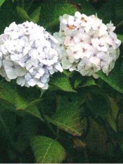 Hortensia - Hydrangea macrophylla Sœur Thérèse