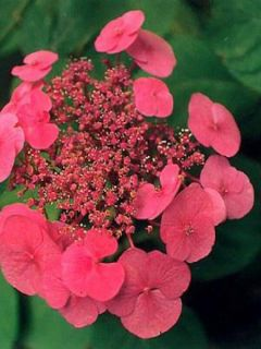 Hortensia 'Teller Red'