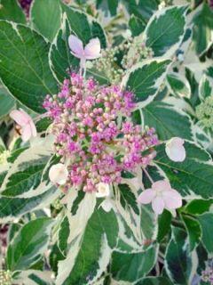 Hortensia - Hydrangea macrophylla Tricolor