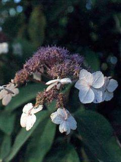 Hortensia - Hydrangea aspera villosa