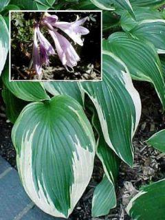 Hosta fortunei var hyacinthina