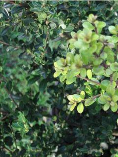 Houx crénelé - Ilex crenata Green Hedge