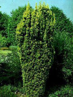 Taxus baccata Fastigiata Aurea - If commun doré