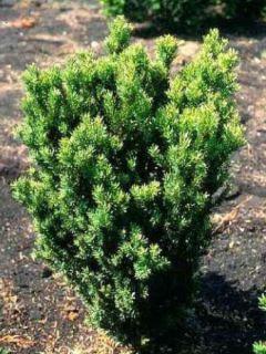 Taxus media Hillii - If hybride
