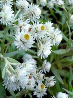 Anaphalis triplinervis Sommerschnee - Immortelle de l'Himalaya