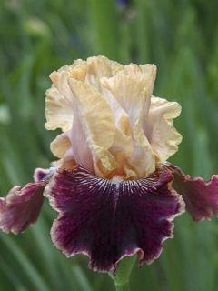 Iris germanica Amethyst Dancer - Iris des jardins