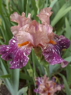 Iris des jardins 'Anaconda Love '