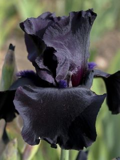 Iris germanica Black Suited