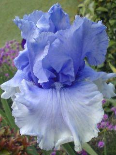 Iris germanica Cascade Springs