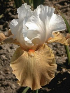 Iris germanica Chateau d Auvers Sur Oise