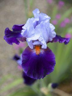 Iris germanica Chelsea Bleu - Iris des Jardins