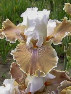 Iris germanica Coffee Whisper - Iris des Jardins