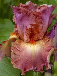 Iris germanica Dame de Coeur