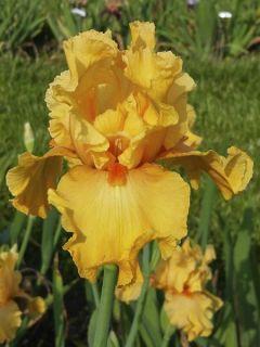 Iris germanica Good Show - Iris des Jardins