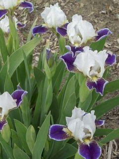 Iris germanica Making Eyes - Iris des Jardins Lilliput