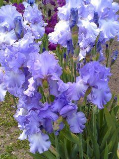 Iris germanica Mary Frances - Iris des Jardins