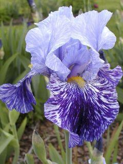 Iris germanica Millenium Falcon - Iris des Jardins.