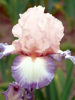 Iris des jardins 'Poésie'